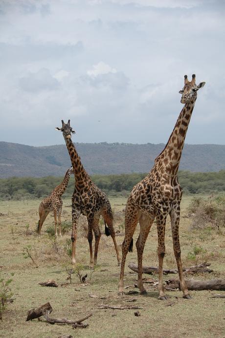 Giraffen in Lake Manyara NP Tanzania