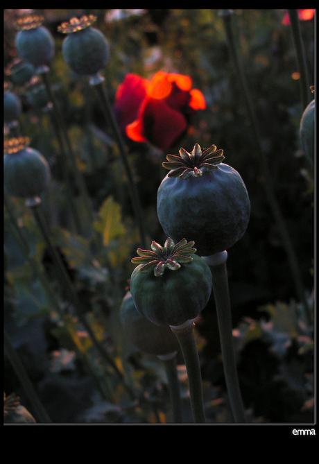 Bloemekees - - - avondrood
