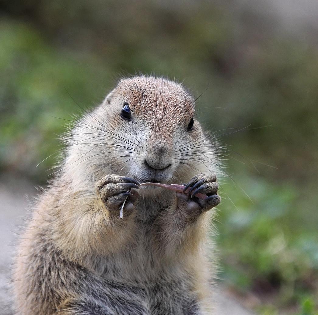 It was my tail... - Het was mijn staart die jullie tussen het groen zagen op de vorige foto. Dus geen eekhoorn, geen kat...maar een prairiehondje. - foto door Lucille Ball op 15-06-2015 - deze foto bevat: dierentuin, dieren, blijdorp, prairiehondje