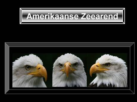 Drieluik A. Zeearend