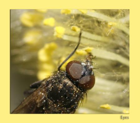 Snoepjes - Klein vliegje is aan het snoepen van de nectar in een katje. - foto door Eyes op 21-03-2009 - deze foto bevat: eyes, vlieg, voorjaar, katje