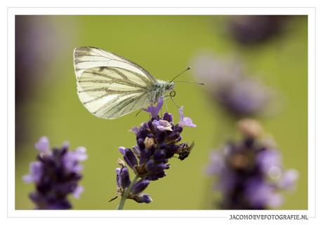 Klein koolwitje op lavendel (1)