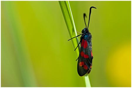 St. Jans vlinder....... - Deze soort komt massaal voor op de St. Pietersberg in Maastricht. - foto door RogerteWierike op 27-01-2012 - deze foto bevat: kleuren, macro, abstract, vlinder, insect, zonnig, opwarmen, St. Jansvlinder
