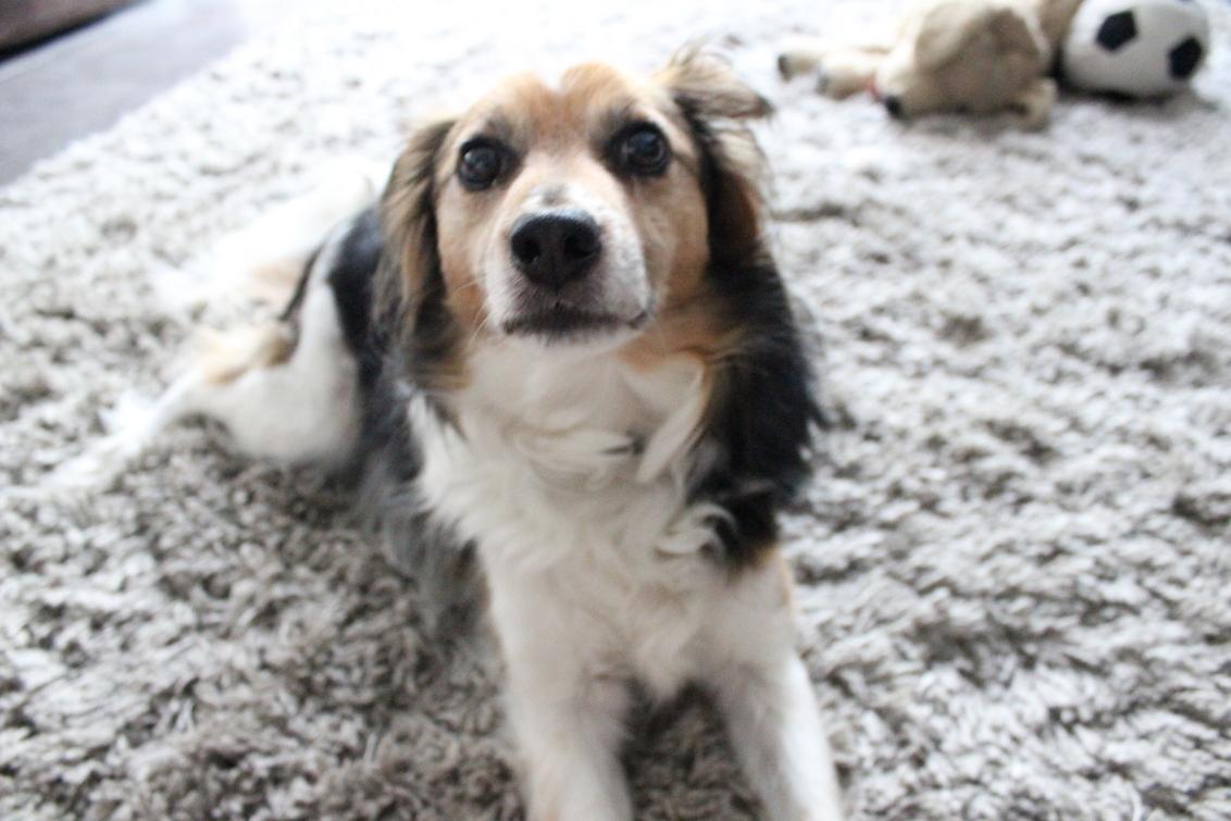 Russel - Mijn hond, nog steeds speels met z'n 11 jaar. De eerste ochtend nadat ik mijn camera kreeg maakte ik deze foto. Ik ben nog nieuw met fotografie, en  - foto door TwiiCe op 26-09-2013 - deze foto bevat: licht, hond, oogcontact, kleed
