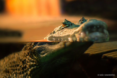 Crocodile eye - Crocodile patiently watching and floating on the water surface. - foto door samards op 09-09-2016 - deze foto bevat: water, wild, detail, eye, wet, aquarium, wildlife, beast, exotic, aqua, zoo, skin, closeup, scary, stare, camouflage, floating, alligator, lizard, animal, waiting, warning, predator, croc, gator, crocodile, reptile, jaws, carnivore, masked, teeth, ambush, stalking, amphibian, caiman, humid, menace, water-level, coldblooded, float