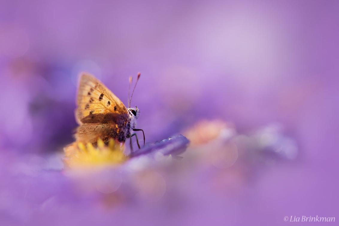 Purple dreamworld - Purple dreamworld,   Vuurvlindertje op herfstasters - foto door hulsman op 26-09-2016 - deze foto bevat: paars, rood, macro, blauw, bloem, natuur, vlinder, druppel, geel, oranje, insect, dof, dauwdruppels, bokeh