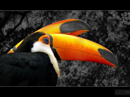 Paint The Sky - Deze 2 prachtige paradijsvogels, toekans, zijn herkenbaar voor iedereen. Hun prachtige verschijning, maakt het tot bijzondere vogels. - foto door daniel44 op 16-12-2007 - deze foto bevat: lucht, kleuren, dieren, veren, vogel, toekan, paradijs, daniel44