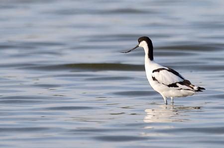 In zee gaan - kluut - foto door AnneliesV op 24-02-2021 - deze foto bevat: water, natuur, dieren, vogel, watervogel