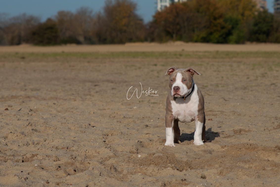 Noah - Noah de 4 maanden oude bull - foto door Wesker-Fotografie op 22-11-2020 - deze foto bevat: klein, herfst, bulldog, dier, nederland, flevoland, jong, almere, puppy, pup, champagne bulldog, americane bulldog