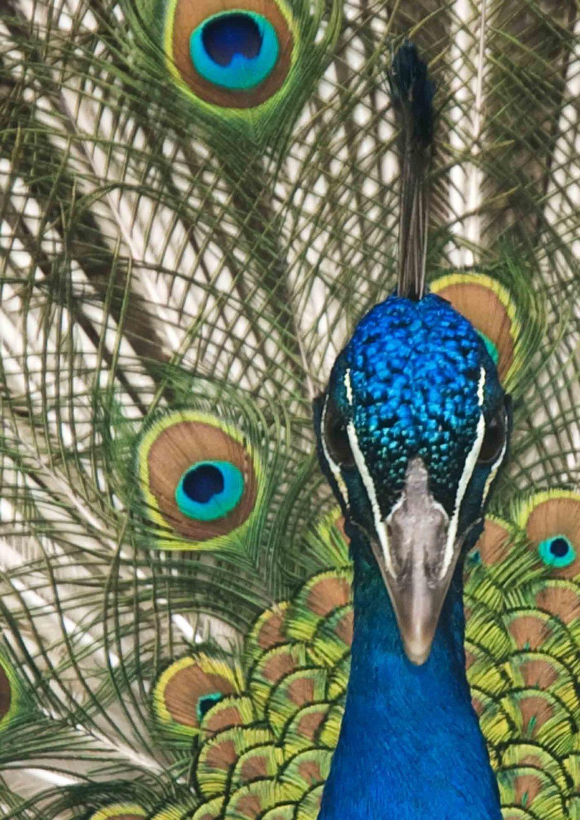 Pauw - Een poging om een 'stukgefotografeerd' onderwerp anders aan te snijden. - foto door hubregt op 05-07-2009 - deze foto bevat: natuur, portret, dieren, vogel, pauw, huib visser