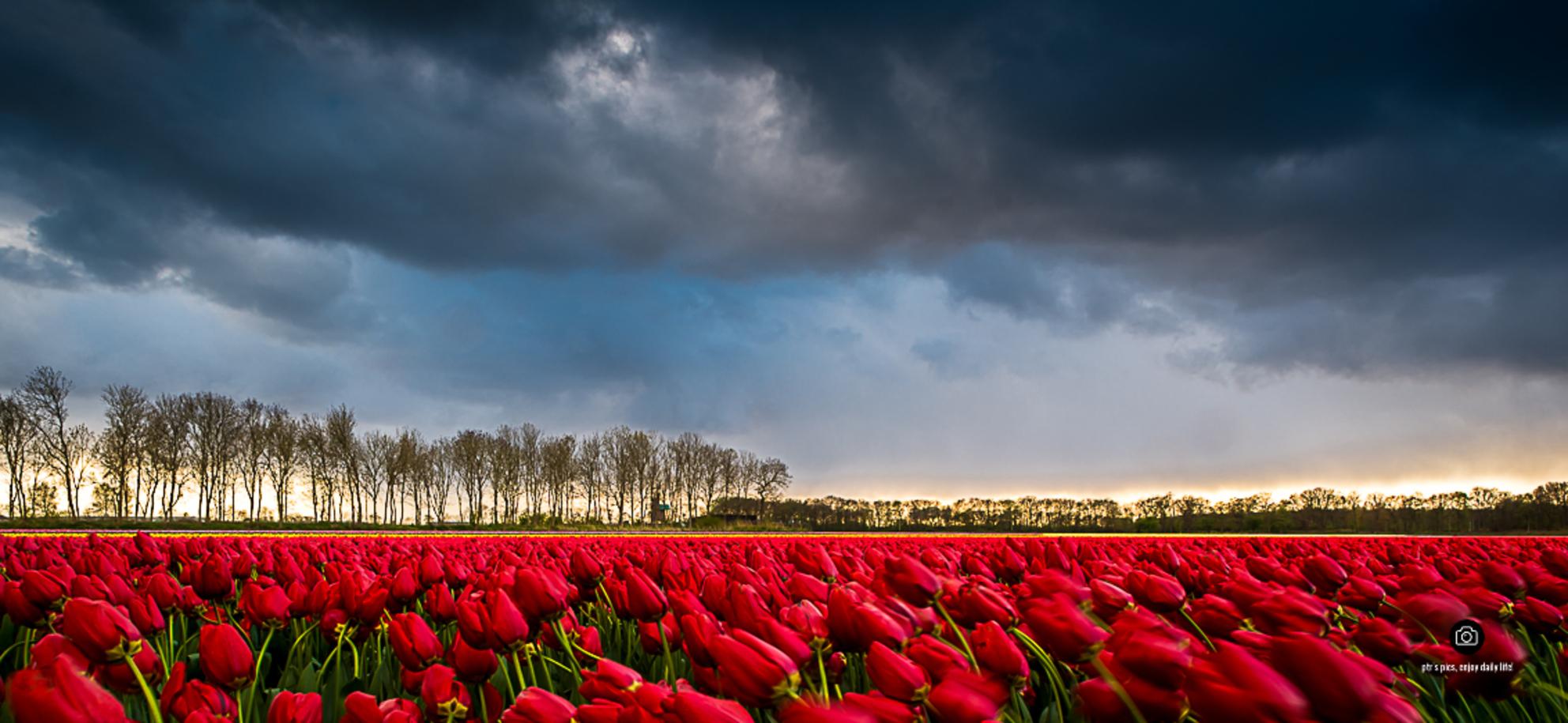 lisse - - - foto door peterspostbus op 18-04-2017 - deze foto bevat: tulpen, lente, bloembollen, tulpenveld, bollenstreek, nd filter, ptr - Deze foto mag gebruikt worden in een Zoom.nl publicatie