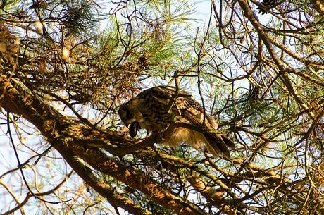 Ransuil braakt uilenbal uit 2