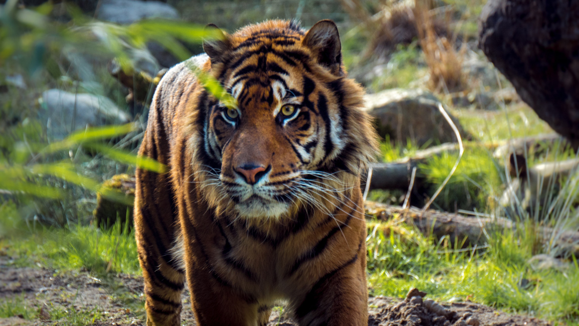 Tijger wachtend op een stukje vlees - Tijger wachtend op een stukje vlees - foto door MigiloDiPilo op 13-03-2016 - deze foto bevat: rotterdam, dierentuin, dieren, tijger, zoo, blijdorp