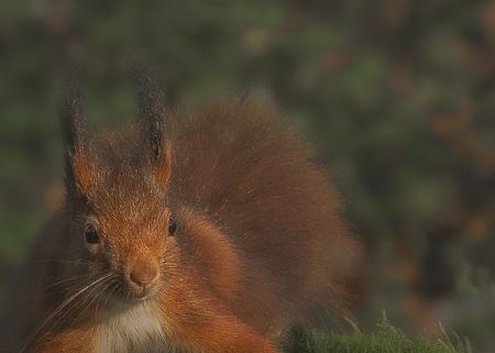 Eekhoorn. - Allen bedankt voor de fijne waarderingen op mijn vorige upload. - foto door hvr2105 op 18-03-2021 - deze foto bevat: eekhoorn, telelens