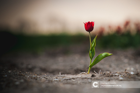 The lonely tulip