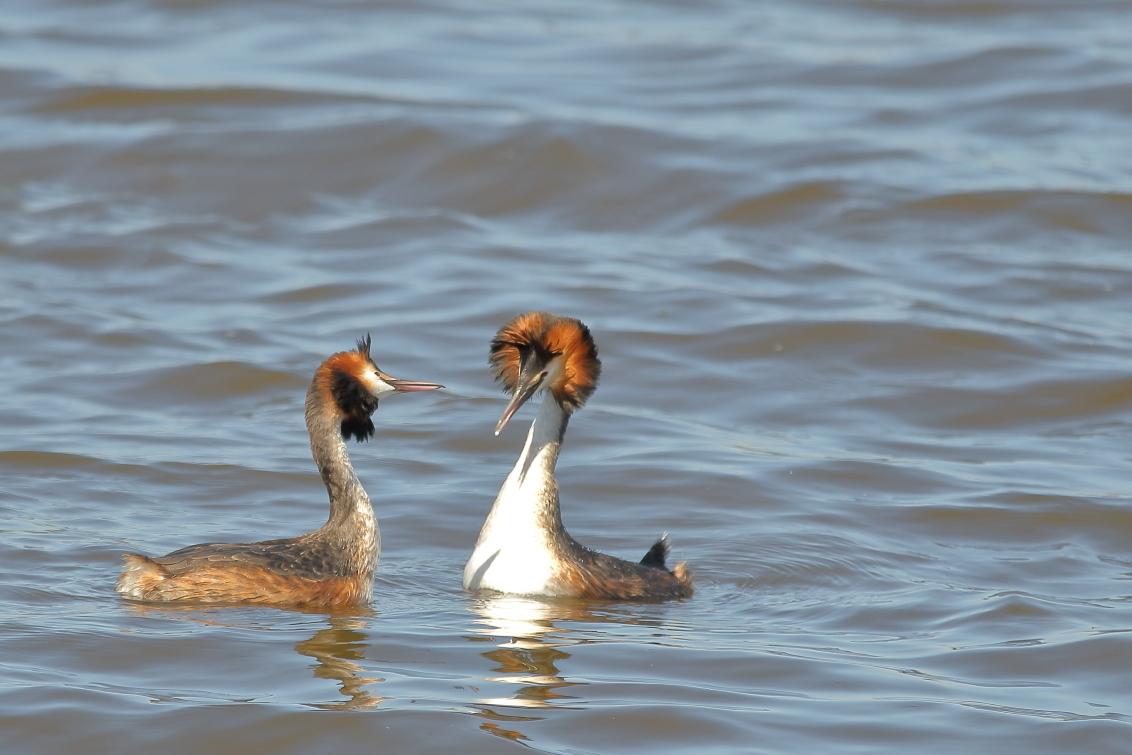 oog hebben voor elkaar - baltsende futen - foto door AnneliesV op 02-03-2021 - deze foto bevat: water, natuur, dieren, vogel, fuut, watervogel