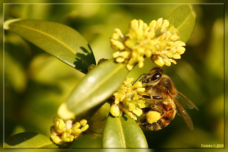 Snoeperd - Deze snoeperd heeft al een flinke stuifmeelbol verzameld. - foto door SietskeH op 16-04-2010 - deze foto bevat: macro, bij, tuin, stuifmeel, snoepen