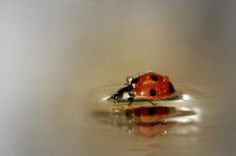 lieveheersbeestje red het na flinke bui !