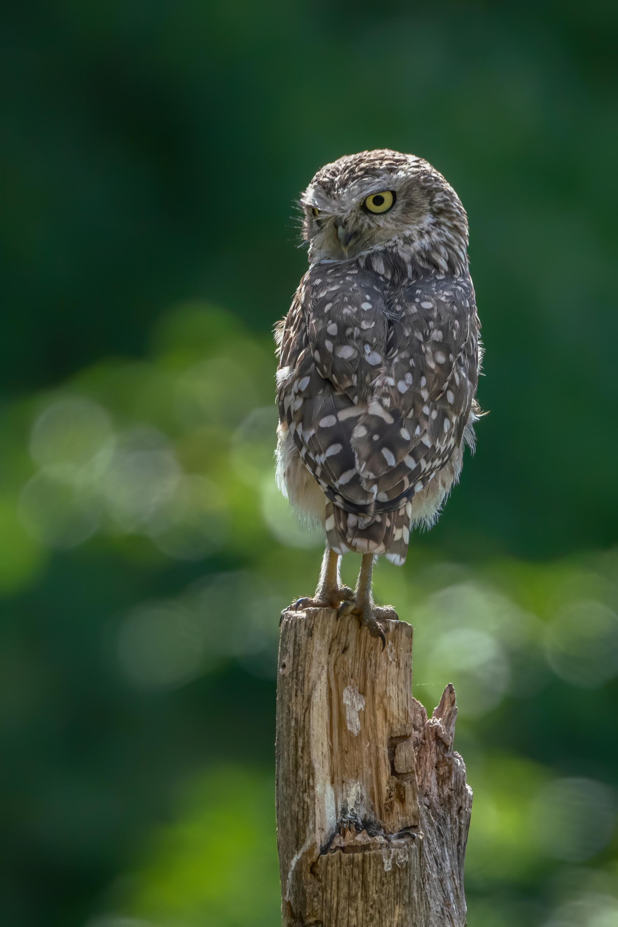 Op de uitkijk. - Bedankt voor de leuke en bemoedigende reacties en stemmen op mijn vorige foto`s.  Fijne dag allemaal!  Groetjes, Albert - foto door AGDBeukhof op 27-05-2020 - deze foto bevat: groen, uil, natuur, vogels, dieren, roofvogels, uitkijk, paaltje, bokeh, holenuil, gele ogen, groene achtergrond