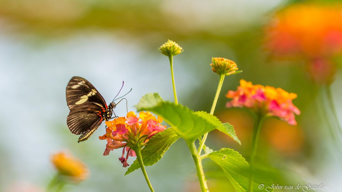 Heliconius melpomene_ - De postman, zo noemt men de Heliconius melpomene ook wel. Deze benaming is zeer toepasselijk, want net als een postbode legt deze vlinder elke dag de - foto door JvandeGazelle op 12-01-2018 - deze foto bevat: groen, macro, bloem, natuur, vlinder, geel, tegenlicht, insect, blijdorp, vlindertuin, dof, bokeh, amazonica