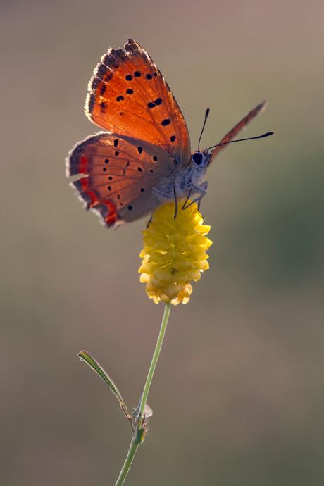 Griekse vuurvlinder, lycaena ottomanus