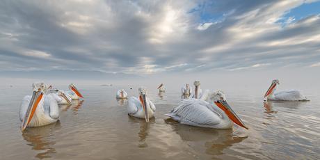 Floating pelicans