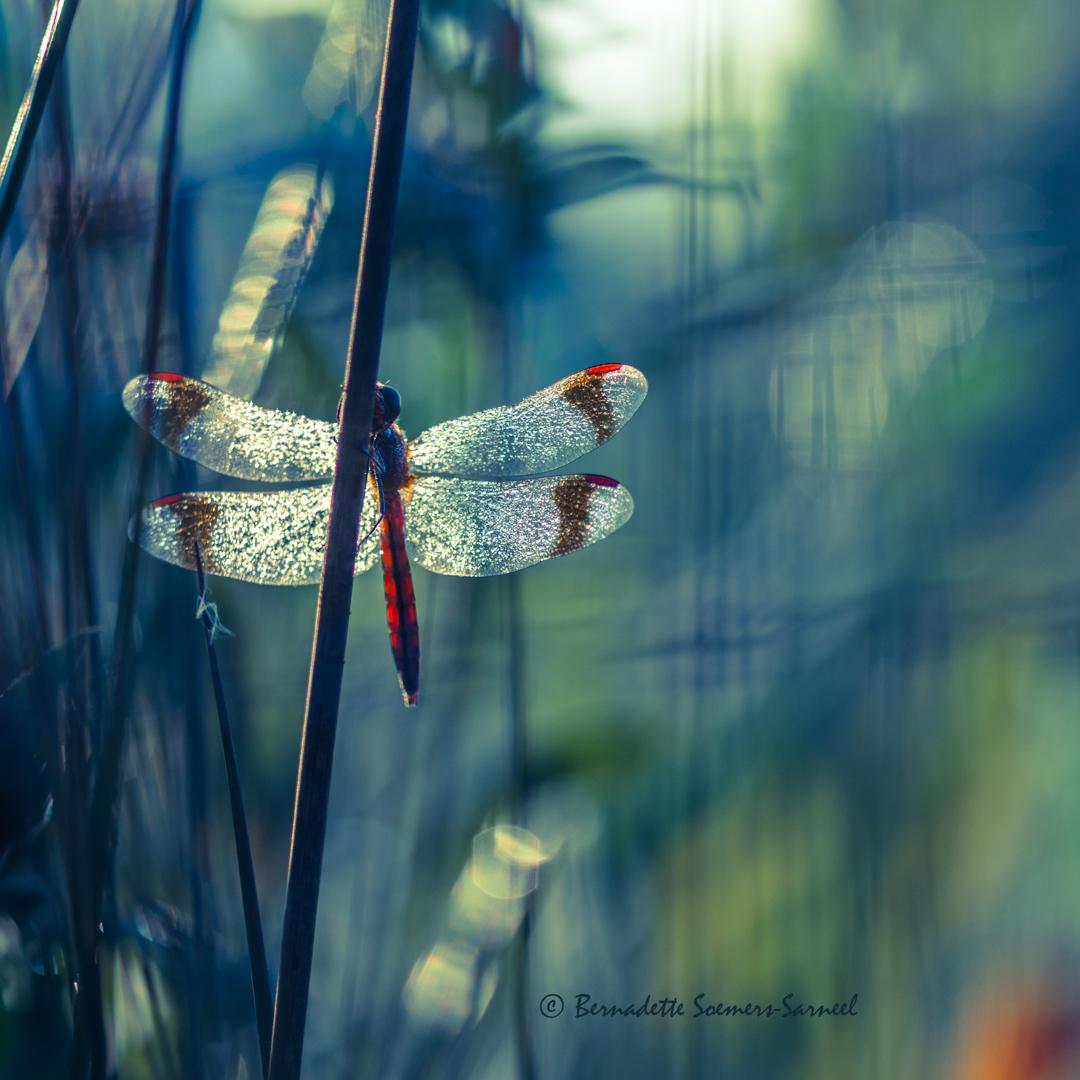Aan de drooglijn - Deze bandheidelibel, een mannetje, hangt op te warmen in het vroege ochtendlicht.  Bedankt voor alle fijne reacties op mijn vorige upload van een b - foto door soesa62 op 16-09-2016 - deze foto bevat: macro, libel, dauw, dauwdruppels, dragonfly, bandheidelibel, soesa62, Banded Darter