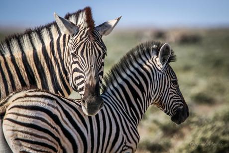 Zebra, Etosha National Park, Namibie