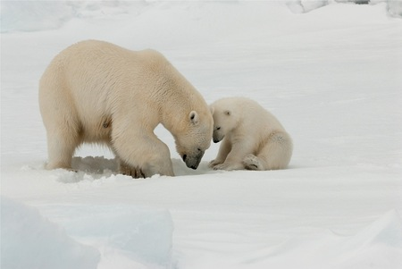 IJsbeer moeder met jong - Voor de IJsbeer wordt het steeds moeilijker om voedsel te vinden op de Noordpool - foto door royhaas op 22-04-2011 - deze foto bevat: ijsbeer, spitsbergen, bedreigd, noordpool, uitsterven