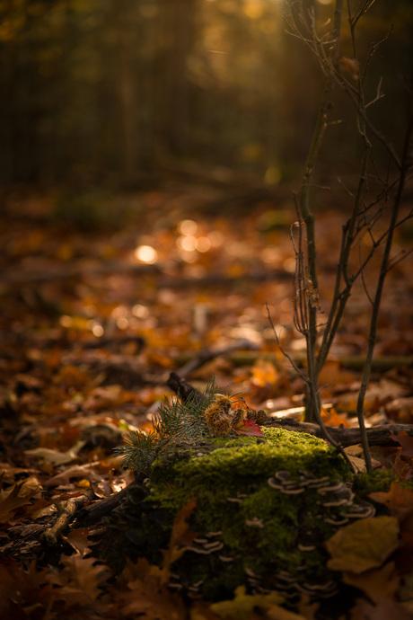 Gouden lichtval in herfstbos op mos