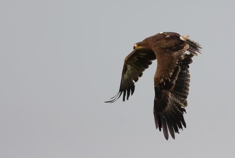 Steppe Arend (Aquila nipalensis)