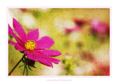 Pink. - Een roze roos, op 't 1e gezicht zou je niet denken dat deze op een begraafplaats is gemaakt.   nabewerking: Textures. - foto door lauraderijk op 19-08-2011 - deze foto bevat: roze, pink, zomer, begraafplaats, emoties, textures, texturen, lauraderijk