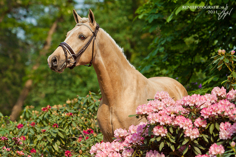 NRPS Hengst Luca S tussen de bloemen