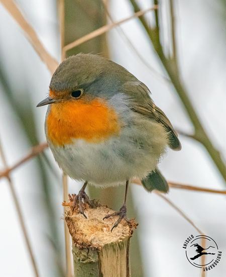 Peinzend roodborstje - Dit roodborstje lijkt te peinzen wat z'n volgende stap zal zijn. Wat een heerlijk vogeltje is dit toch! - foto door Gentiaan op 23-01-2021 - deze foto bevat: roodborstje, winter, vogel, takken, erithacus rubecula