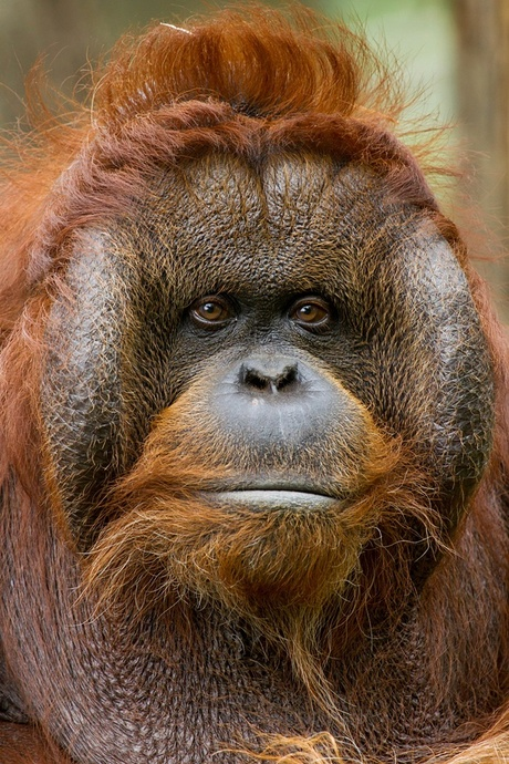 Borneo Orang oetan2
