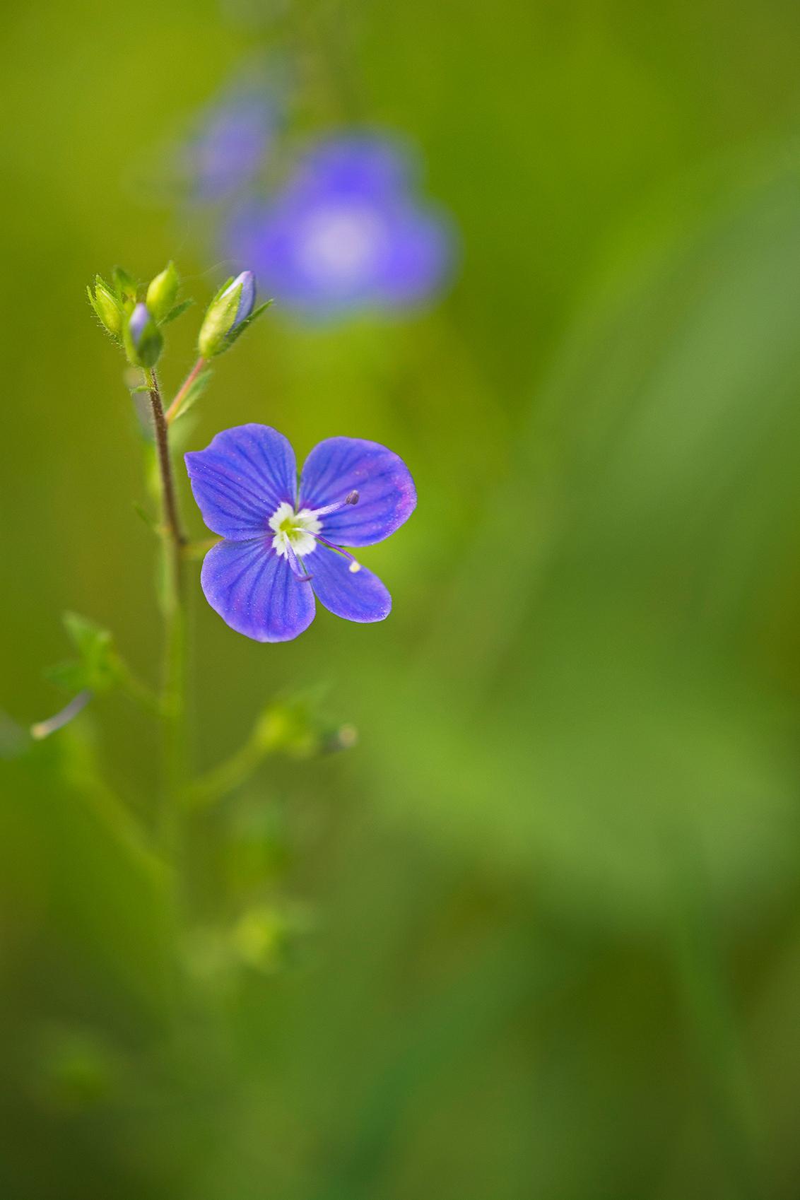 Ereprijs - Nog een bloemetje uit de botanische tuin.. - foto door cvthazn op 24-05-2014 - deze foto bevat: macro, bloem, natuur, ereprijs