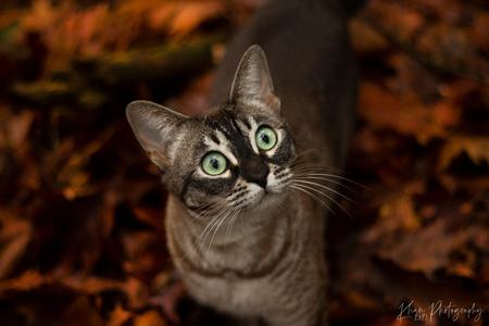 Poespoes in het bos - Een rondje met Poespoes door het bos. Poespoes is een kruising bengaal x burmees. - foto door hannahvklompenburg op 03-01-2021 - deze foto bevat: kitten, natuur, poes, huisdier, kat, tijger
