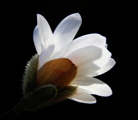 IMG_5296.JPG Magnolia Stellata