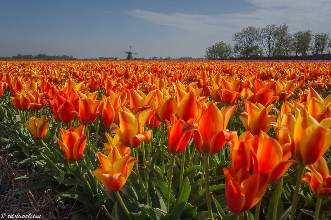Voor Oranje - Deze tulpen in plaats van de vlaggen voor Oranje - foto door rits op 30-03-2021