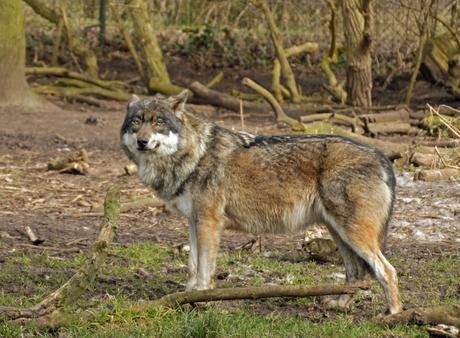 Karpaten wolf