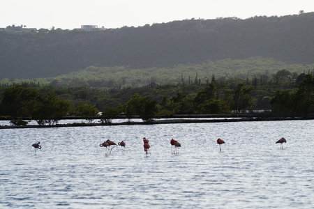 Flamingo's Curaçao - Flamingo's bij Flamingo area op Curaçao. - foto door SHPhotography op 18-10-2019 - deze foto bevat: natuur, landschap, curacao, Flamingo's