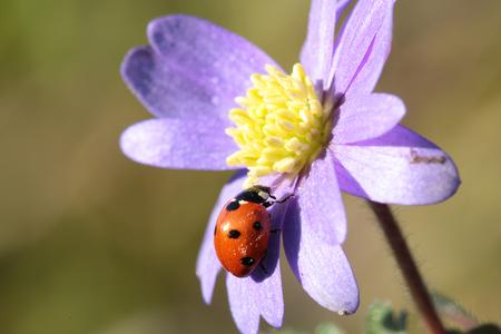 voorjaarszon - een lieveheersbeestje op een blauwe anemoon, ultiem voorjaarsbeeld. groeten, bert - foto door b.neeleman op 18-03-2015 - deze foto bevat: lieveheersbeestje, kever, lhb, insect, blauweanemoon