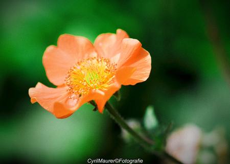 Oranje in Korrel sfeer - nog een uit de zoomdag De Luie tuinman  hier heb ik bewust voor zacht korrel effect  gekozen om de sfeer van de voto mooier te maken . En jan bedan - foto door sipmaurer op 07-06-2016 - deze foto bevat: groen, macro, bloem, lente, natuur, geel, oranje, zoomdag, dof, korrel sfeer, de luie tuinmam