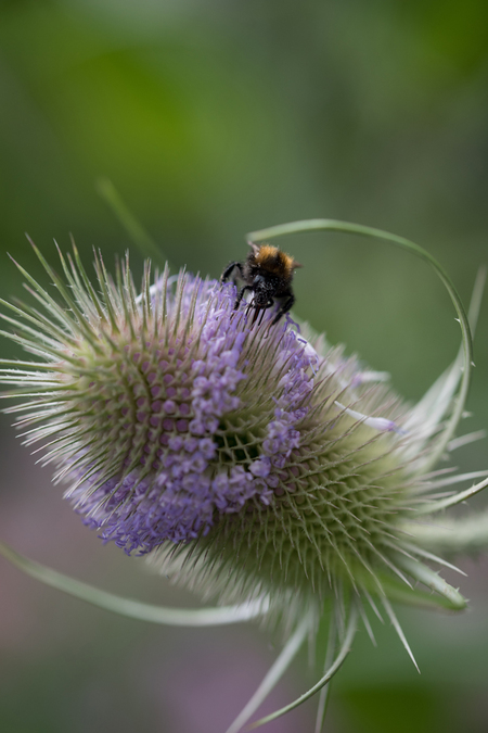kaardenbol met hommel - Het was de bedoeling om blauwe distels te hebben in de tuin voor vlinders, o.a. het blauwtje. In plaats daarvan heb ik blijkbaar kaardenbollen gekoch - foto door anniest op 26-07-2015 - deze foto bevat: macro, hommel, bloem, natuur, tuin, zomer, insect, dof, lila