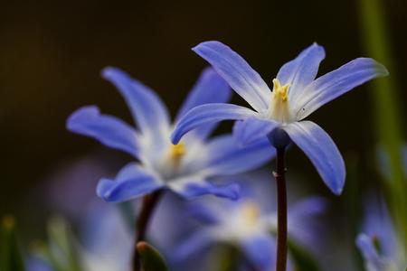 Sneeuwroem - - - foto door Vriendje70 op 18-04-2019 - deze foto bevat: macro, blauw, bloem, lente, tuin, sneeuwroem