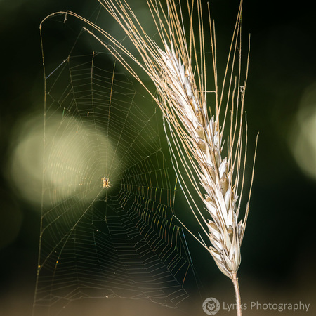 Korenaar, zo goed als rijp - - - foto door Lynxs op 14-07-2018 - deze foto bevat: spin, rijp, graan, spinnenweb, voedsel, landbouw, koren, gewas, tarwe, korenaar, oogst, teelt, aar, akkerbouw, grondstof, voedselketen