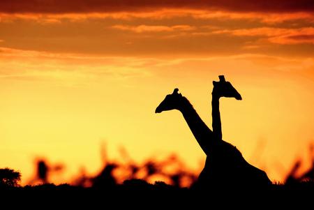 Giraffen - - - foto door info-2708 op 24-08-2014 - deze foto bevat: zon, natuur, zonsondergang, dieren, safari, giraffen, silhouette, giraffe, afrika, wildlife