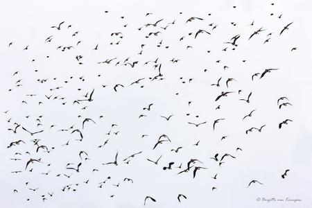 One day I fly away - Zwerm Kieviten boven de Groenzoom gister. Indrukwekkend om te zien hoeveel het er waren en hoe gracieus ze navigeren - foto door Puck101259 op 01-02-2020 - deze foto bevat: lucht, wit, natuur, zwart, vogel, vliegen, watervogel, beweging, vlucht, kievit, zwerm, brigitte