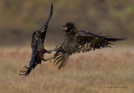 Gevecht Raven