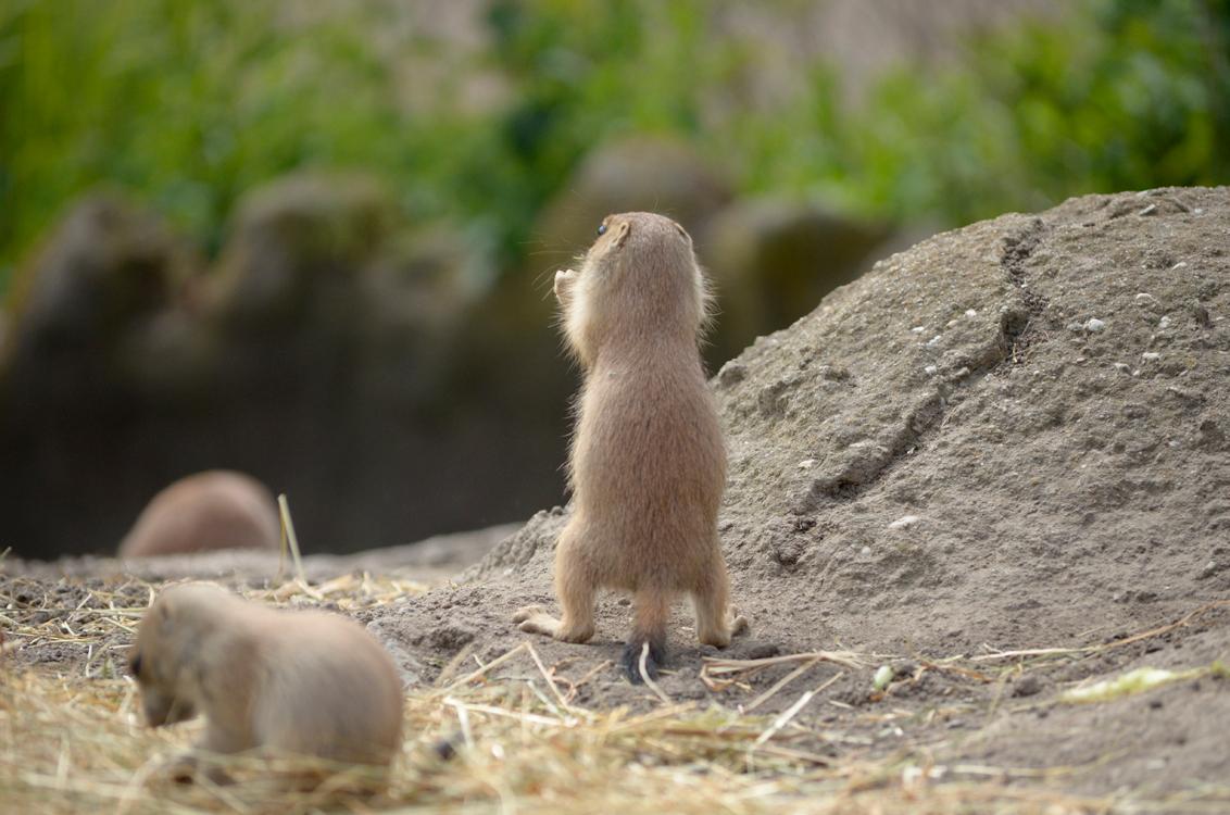 Prairiehondje - - - foto door elisevandergeer op 14-06-2015 - deze foto bevat: dierentuin, dieren, blijdorp